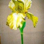 Iris sur toile de coton dans Faune et Flore iris-jaune-am-150x150