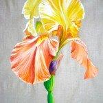 iris-jaune-et-abricot-am-150x150 art
