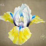 iris-jaune-et-bleu-am-150x150 arc en ciel